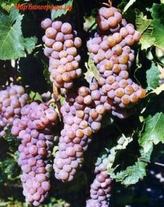 vinograd-diamant