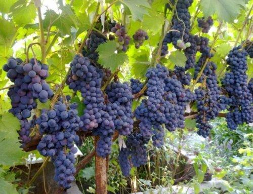 Виноград технічних  сортів оптом